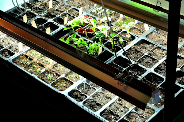 grow lights over seedling trays