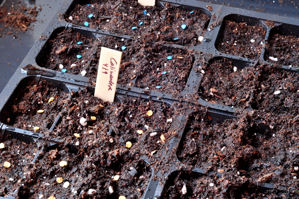 planting tomato seeds in trays