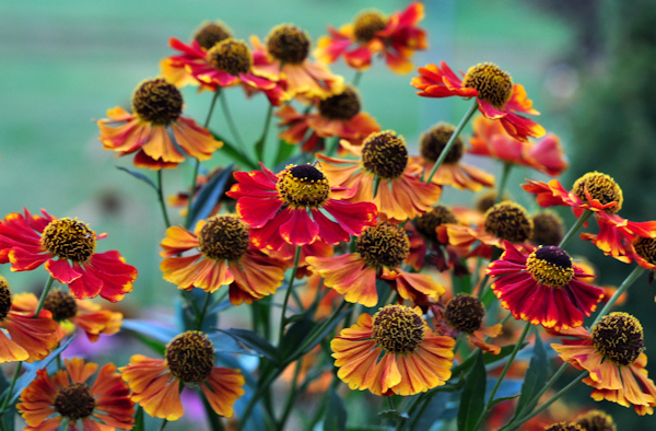 helenium 'red and gold'