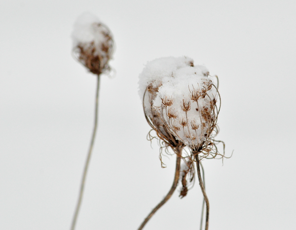 snowy queen anne's lace