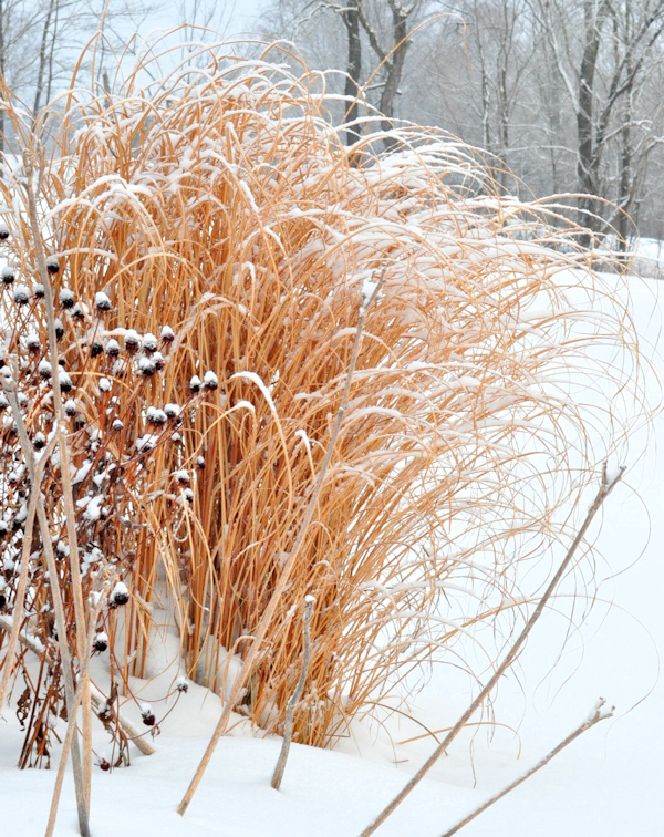 miscanthus morning light in the snow