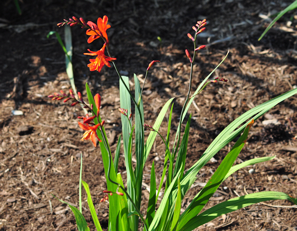 crocosmia distant planet plant