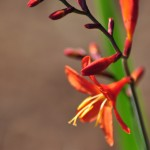 Favorite Plant: Crocosmia 'Distant Planet'