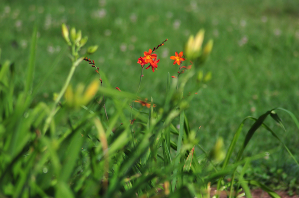 crocosmia distant planet