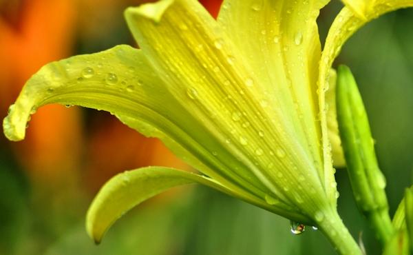 daylily hyperion
