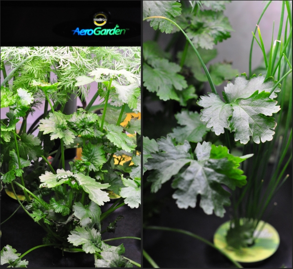 Growing fresh herbs with Miracle Grow AeroGarden on The Creekside Cook