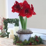 Longfield Gardens Amaryllis for Christmas
