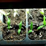 early girl tomato seedlings