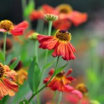 Achooo! or One of my favorite flowers: Helenium